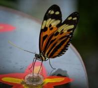 Schmetterlinge (1 von 1)-16
