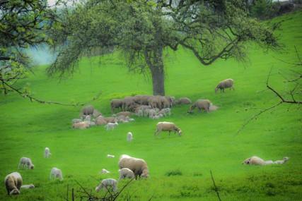 Auf der Schafweide