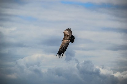 Geierweibchen Hedwig im perfekten Gleitflug