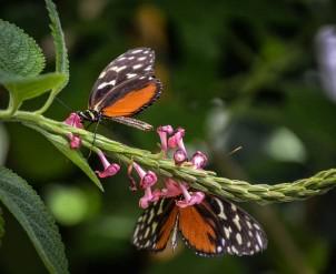 Mainau-Schmetterlinge (1 von 1)-7