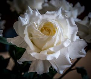 Weiße Rose (1 von 1)-8