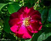 roseninsel (1 von 1)-31