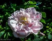 roseninsel (1 von 1)-34