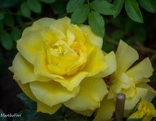 rosenschau-0693