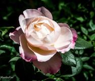 rosenschau-0697
