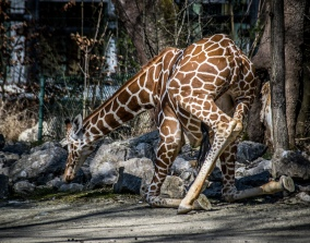 giraffe-7444