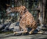 giraffe-7446
