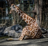 giraffe-7448