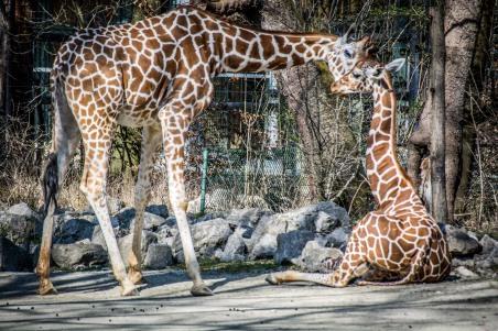 giraffe-7452